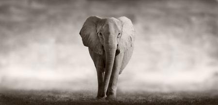 Wild Afrikaanse olifant lopen over een Afrikaanse vlakte Stockfoto