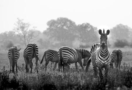 Kudde wilde zebra's in een Afrikaanse overstromingsgebied