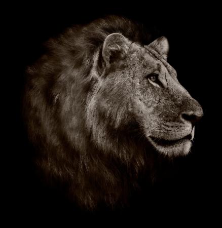 Zwart-wit portret van een leeuw