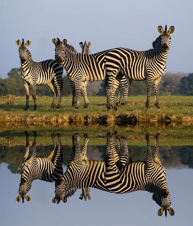 burchell: Herd of Zebras with a Reflection on the water