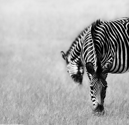 burchell: Black and white image of two zebras feeding in a open plain Stock Photo