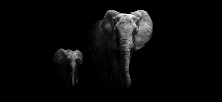 Black and white image of a Mother and Baby Elephant photo