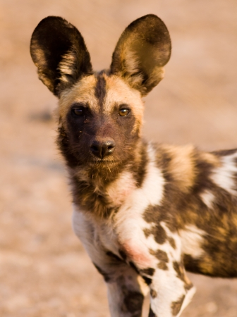 veldt: Close up image of an African Wild Dog