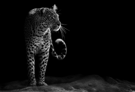 leopard fur: Black and white image of a leopard staring