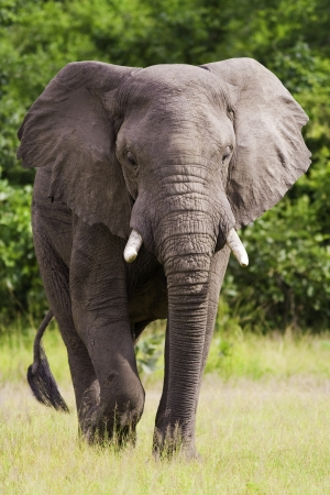 Wild African Elephant walking in the wilderness photo