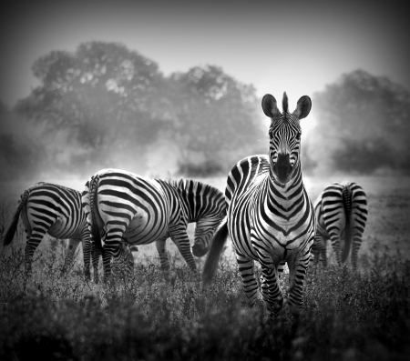 Artistic black and white image of a male zebra with the herd in the background