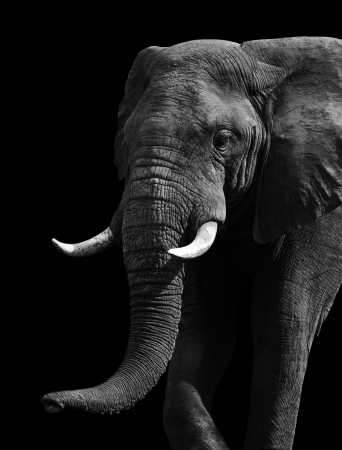 Artistic close up of an African elephant in black and white