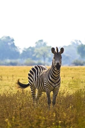 grassfield: Wild Zebra in an African flood plain Stock Photo
