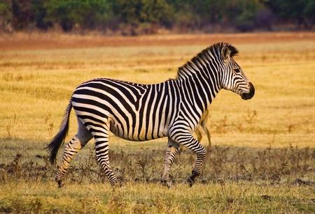 grassfield: Wild zebra running across a flood plain