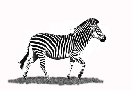grassfield: Artistic black and white edit of a Zebra Running
