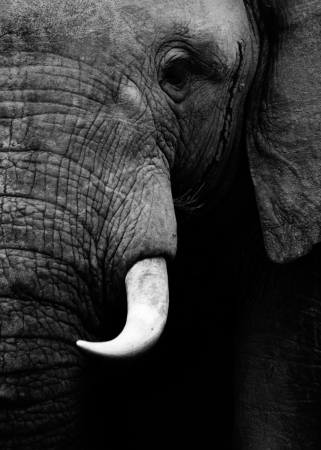 Artistic close up of an African elephant in black and white photo