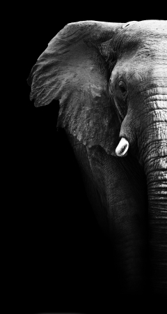 big head: Artistic close up of an African elephant in black and white
