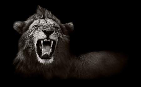 Wilde Afrikaanse Mannelijke Leeuw grommen en Resultaat Gevaarlijke Tanden