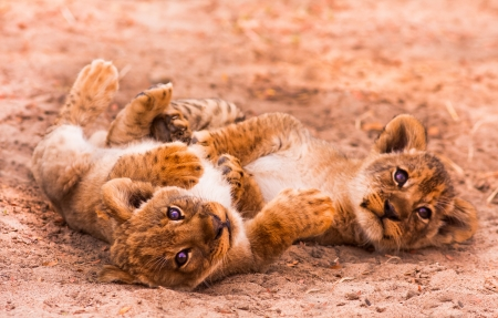 Cute Lion Cubs Playing in the Sand photo