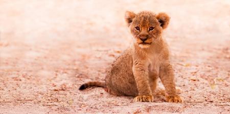 leon bebe: Lindo cachorro de león sentado en la arena Foto de archivo