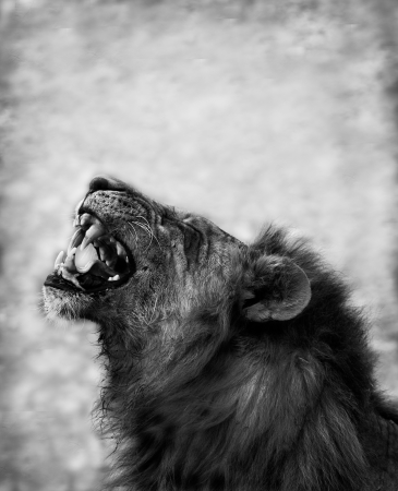 Black and Wite image of a Lion Displaying Teeth photo