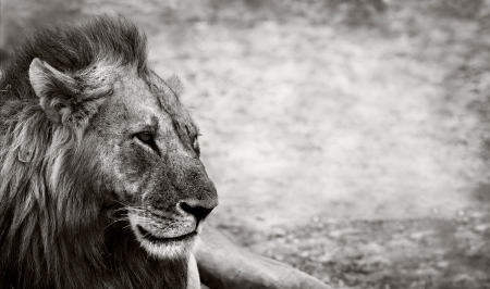 Wild African Male Lion resting