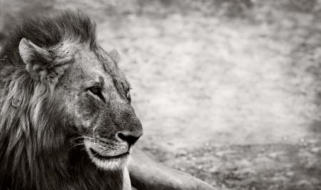 Wilde Afrikaanse Mannelijke leeuw rust