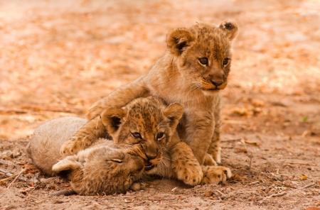 Leuke Leeuwenwelpen spelen in het zand