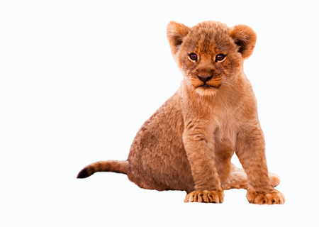 Cute lion cub isolated on a white background photo