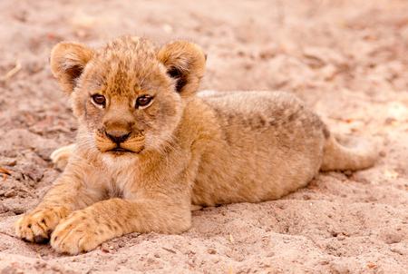 leon bebe: Cachorro de león lindo que se sienta en la arena