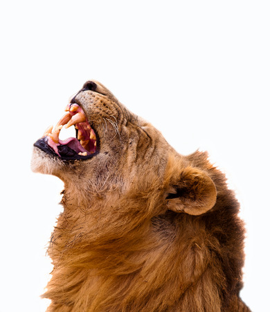 Lion Roaring photo