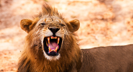 Wild African Male Lion Growling and Showing Dangerous Teeth photo