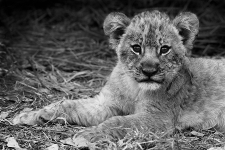 south park: Artistic image of a cute lion cub in black and white