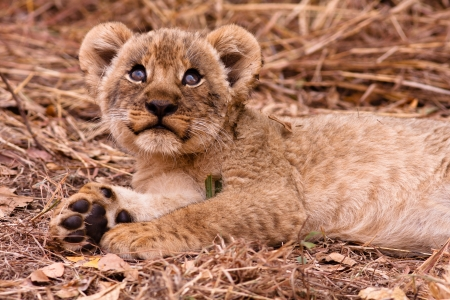 Wild lion cub looking up into the sky photo