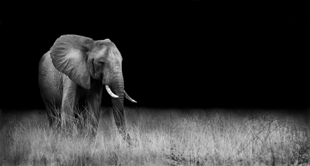 Wild elephant in the african savannah