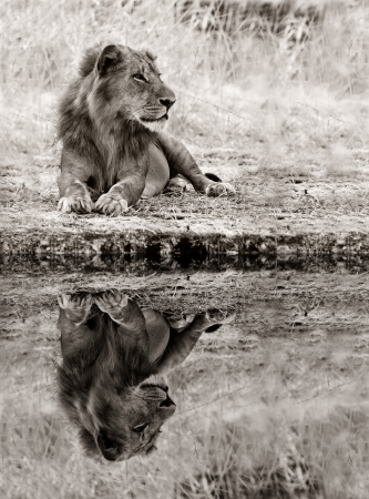 Perfecte weerspiegeling van een mannelijke leeuw ontspannen in het wild
