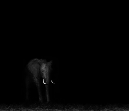 Low key dramatic image of an elephant walking in the darkness