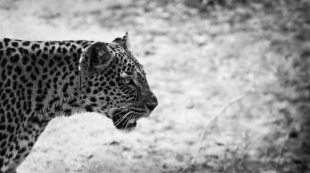 close up of a leopard in black and white photo