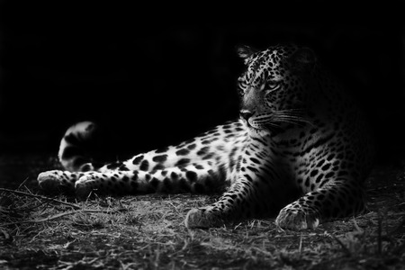 Black and white image of a leopard lying on the ground