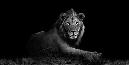 Wilde leeuw rusten in het gras