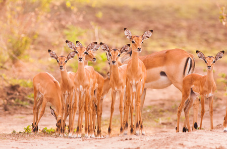 Herd od newborn baby impala with mother in the background