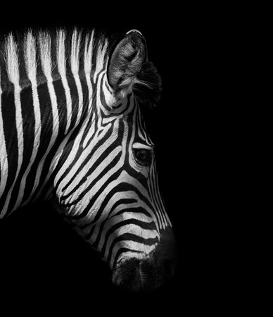 Zebra hoofd van de zijkant in zwart en wit