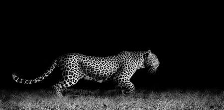 Zwart-wit beeld van een wilde Afrikaanse luipaard stalking