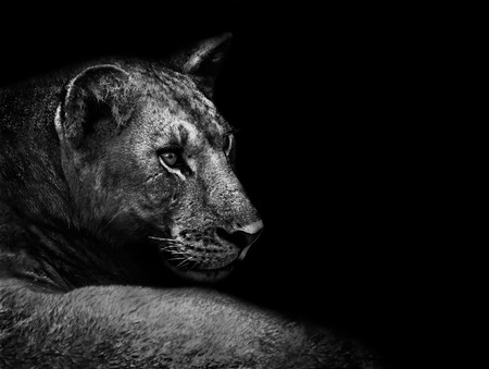 Artisitc black and white image of a lion close up
