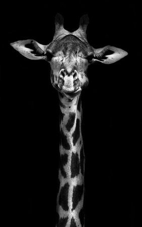 Creative black and whitw image of a thornycroft giraffe Stock Photo
