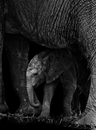 Olifant van de baby wordt beschermd door zijn moeder Stockfoto