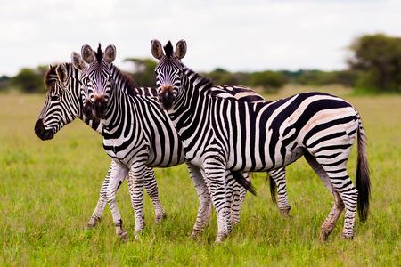 Kudde wilde Afrikaanse Zebra kijken naar de camera