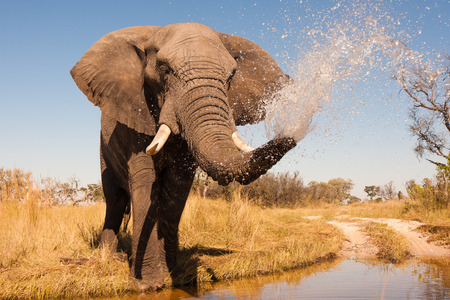 自然の中で野生のアフリカ象