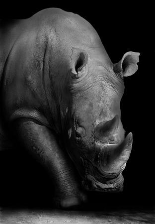 흑백에서 야생 아프리카 흰 코뿔소
