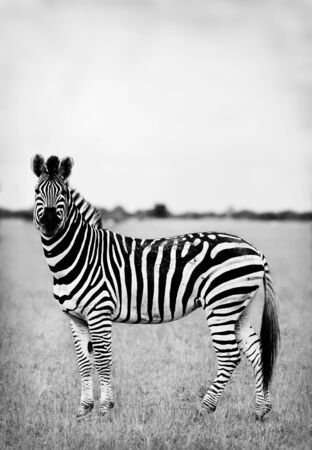 dramatically: Image of a wild African zebra in monochrome