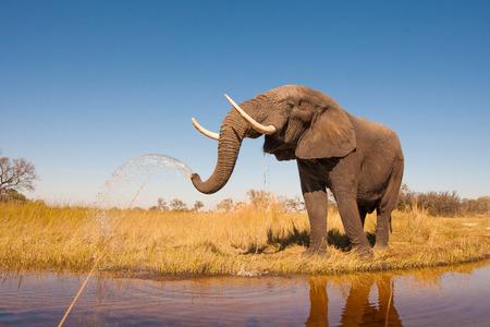 wildlife: Wild African elephant in the wilderness