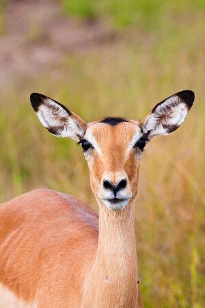 grazer: Impala staring at the camera