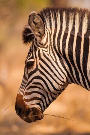 head to head: Profile head shot of a wild African zebra Stock Photo