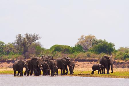 pozo de agua: Manada de elefantes africanos salvajes en una charca