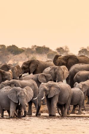at waterhole: Manada de elefantes africanos salvajes en la charca